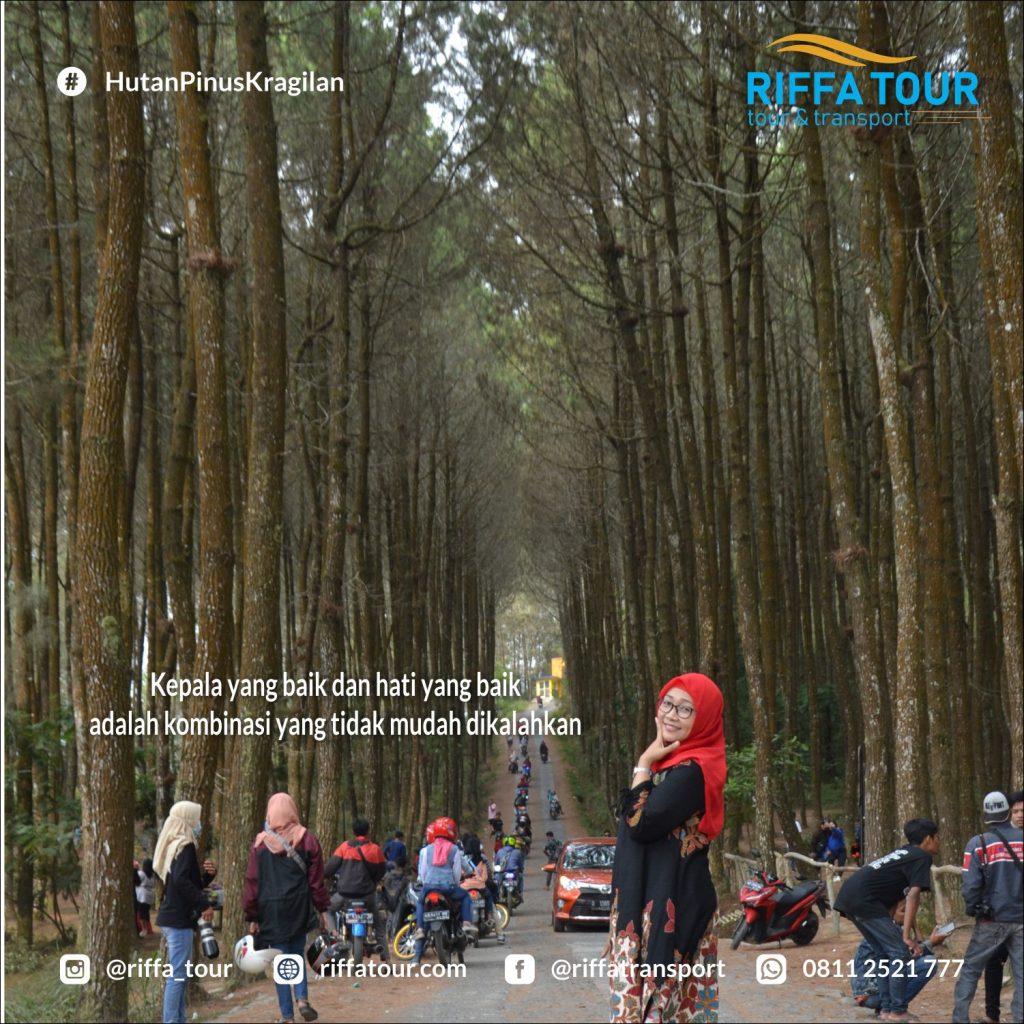 Tegarnya pohon Pinus di Kragilan Magelang